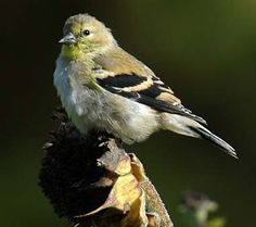 Female American goldfinch (willow goldfinch) - photo by Matthew (jackanapes) on Flickr - noncommercial use permitted with attribution / no derivative works - see all state birds