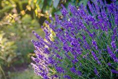 K letu patrí slniečko a vôňa sušených liečivých byliniek. Kvety levandule majú nádhernú modrofialovú farbu, … Čítať ďalej Plants, Plant, Planets