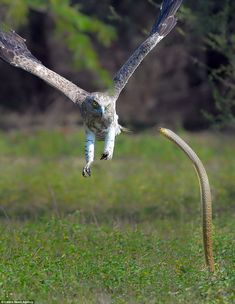 Amateur photographer Vikram Ramesh caught the dramatic moment the snake launched up out of the grass and prepared to strike the eagle in mid-air. He said the two animals then began to fight for around 10 minutes