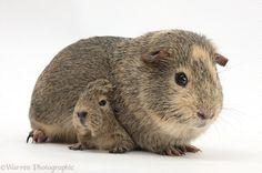 guinea pigs - Google Search