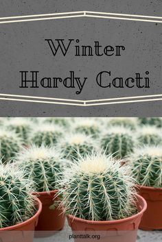 Winter Hardy cacti are a perfect addition to your garden. Food Safety Tips, Colorado, Food Hacks, Food Tips, Food Styling, Gardening Tips, Healthy Recipes, Healthy Food, Perennials