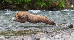 Set of images of a jumping sequence Brown Bears on the Alagnak River, Katmai National Park, Alaska Cutest Animals On Earth, Cute Animals, Bear Pictures, Animal Pictures, Katmai National Park, Spirit Bear, Love Bear, All Gods Creatures, Animals