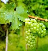 Sauvignon Blanc, variety is in its nature