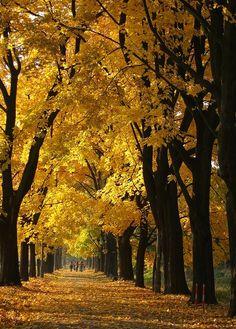 Golden autumn alley in Zwierzyniec, Poland (by ela_s).