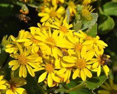 Osteospermum moniliferum Shrubs, Garden, Plants, Mood, Medium, Garten, Lawn And Garden, Shrub, Gardens