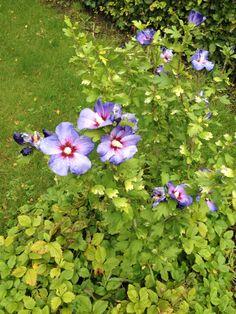 Vores syriske roser står nu i fuld flor I haven ved siden af vores fuglebad. Sjovt nok er alle fuglene på dette tidspunkt næsten helt forsvundet - måske ude og foragere på markerne.