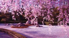 Cherry Blossom Sakura Tree Free Blossoms Cat Pink Nature Hd Wallpaper