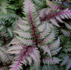 'Regal Red' Japanese Painted Fern, low growing and perfect for that shady spot. There are several different varieties with different leaf coloration. Japanese Fern, Japanese Painted Fern, Japanese Gardens, Japanese Garden Plants, Asparagus Fern, Shade Plants, Cool Plants, Fern Plant, Plant Leaves