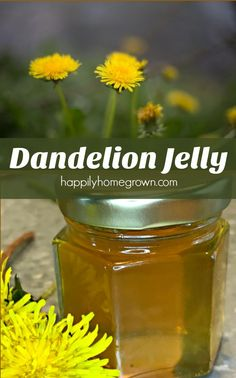 It only takes a little time, effort, and know how to change this humble weed into a golden, honey flavored jelly. Dandelion Jelly is now a family favorite!