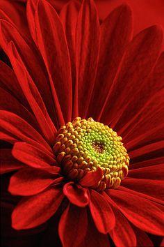 Chrysanthemum  Aaron Falkenbeg