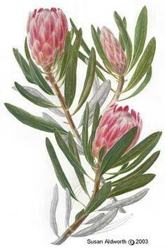Flor Protea, Protea Art, Protea Flower, Australian Wildflowers, Australian Native Flowers, Australian Art, Botanical Drawings, Botanical Illustration, Illustration Art
