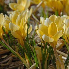 """Crocus chrysanthus 'Romance' - Die Blüten dieses Krokus """"bleiben recht klein, sind dafür aber umso zahlreicher und haben eine einzigartige Form. Ihre warme buttergelbe Farbe ist im Frühjahr immer wieder eine willkommene Überraschung."""" Pflanzzeit für die Blumenzwiebeln: Herbst. Online erhältlich bei www.fluwel.de"""