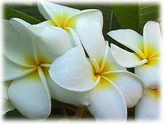 "Plumeria, ""Samoan Fluff"" My Favorite Flower"