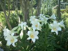So beautiful!  Easter Lilies.