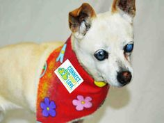 SAFE --- GIGI (A1696516) I am a spayed female tan and white Chihuahua - Smooth Coated.  The shelter staff think I am about 10 years old and I weigh 10 pounds.  I was found as a stray and I may be available for adoption on 05/10/2015. — hier: Miami Dade County Animal Services. https://www.facebook.com/urgentdogsofmiami/photos/pb.191859757515102.-2207520000.1431012586./974175655950171/?type=3&theater