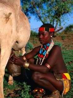 Image result for ethiopian cow milking