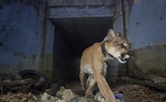 9ad11bc11d03b Famous Freeway-Crossing Mountain Lion Found Dead Weeks After Woolsey Fire  Freeway-Crossing Mountain Lion Found Dead Weeks After Woolsey Fire While  the ...