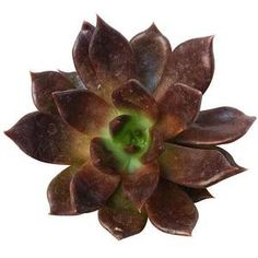 Echeveria 'Black Prince' is a slow growing hens-and-chicks succulent that forms rosettes up to 3 inches cm) wide. Its triangular thin leaves darken from green to brownish purple as the plant ages while the center of the rosettes remains green. Succulents For Sale, Types Of Succulents, Planting Succulents, Pool Plants, Outdoor Plants, Cactus Plants, California Garden, Garden Yard Ideas, Hens And Chicks