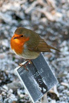 European robin (Erithacus rubecula) in winter Cute Birds, Small Birds, Little Birds, Bird Pictures, Animal Pictures, Beautiful Birds, Animals Beautiful, European Robin, Robin Bird