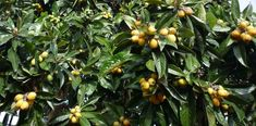 Guide to growing loquat