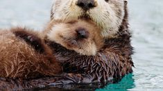 """""""Our team for Alaska filmed this sea otter mother and her pup floating in Prince William Sound. The mother will fluff up the pup's dense fur, trapping a…"""" Animals And Pets, Baby Animals, Cute Animals, Arctic Animals, Alaska, Otter Love, Baby Otters, Interesting Animals, Hilario"""