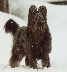 french sheepdog - Google Search