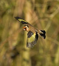 Visit our new-look Galleries to view and search images of thousands of bird species, and join our worldwide community of bird photographers A Level Art, Goldfinch, Bird Species, Beautiful Birds, Animal Photography, Wildlife, Carving, Tattoo Ideas, Tattoos
