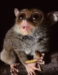 another reason to admire the tarsier- they use a secret speech to communicate!