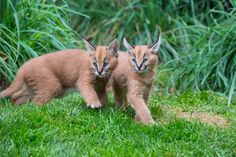 "The name Caracal is stemmed from a Turkish word ""karakulak"" suggesting ""black ear."" The Caracal was as soon as educated for bird searching in Iran as well as India. Small Wild Cats, Big Cats, Baby Animals Pictures, Cute Baby Animals, Caracal Kittens, Newborn Animals, In The Zoo, Cute Animal Videos, My Animal"