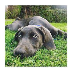 I'd never pass on grass. ✌️ #kleintheweim #weimaraner  #losangeles #puppydogeyes #instagood #adorable #cute #eyes #Thursday #tbt #losangeles #puppy #dogsbeingbasic #dogsofinstagram #instaweim #weimlove #weimaranersofinstagram #weimaraner