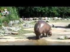LONGEST FART EVER !!! Funny Hippo...laughed out loud for at least 5 min!! hilarious!