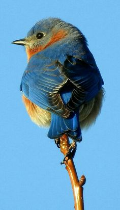 Eastern Bluebird with amazing detail. - photographer Dodge Rock