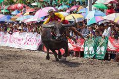 Chonburi Buffalo Race, Chonburi, Thailand on Flickr.
