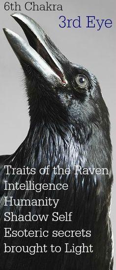 Otter Spirit Animal, Animal Spirit Guides, Raven Totem, Raven Bird, Raven Tattoo, Crow Tattoos, Raven And Wolf, Blackbird Singing, Crow Art