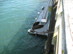 Lazy harbor seals at the Santa Cruz Wharf