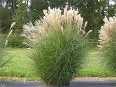 Eulalia grass (Miscanthus sinensis 'Gracillimus') This highly ornamental grass forms a graceful, upright mound of narrow green foliage that stays attractive from summer right through t… Herbaceous Perennials, Hardy Perennials, Miscanthus Sinensis Gracillimus, Grass Seed, Yard Design, Plantar, Ornamental Grasses, Hedges, Garden Planning