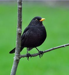 Found all year round and everywhere in the UK. A selection of bird photos Small Birds, Little Birds, Colorful Birds, Pet Birds, Black Animals, Animals And Pets, Common Birds, Spring Birds, British Wildlife