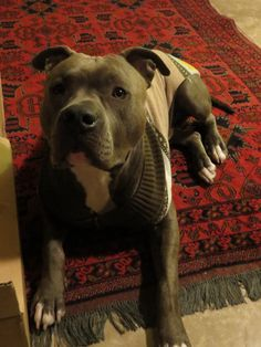 Knight Sabre the Thunderfoot - pit bull - 1 year - ABPT/AmStaff Mix #pitbull