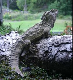Tuatara    Average Life Span: Over 100 Years