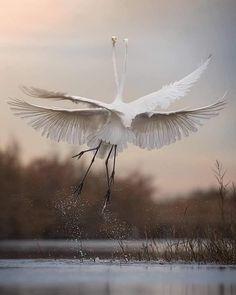 Great White Egrets (Ardea alba) by Andrea Benventuni. Beautiful Birds, Beautiful World, How Beautiful, White Egret, Cute Creatures, Wild Birds, Bird Feathers, Belle Photo, Wonderful Places