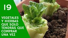 19 vegetales y hierbas que solo tendrás que comprar una vez / 19 vegetables and herbs that you only have to buy once