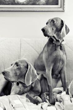 hounds.