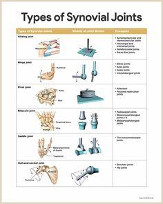Synovial Joints-Skeletal System Anatomy and Physiology for Nurses Human Body Anatomy, Human Anatomy And Physiology, Skeletal Muscle Anatomy, Synovial Joint, Anatomy Bones, Musculoskeletal System, Medical Anatomy, Vestibular, Medical Coding