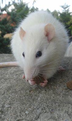 RAT GILBERT