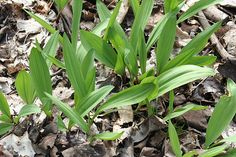 ramps or wild leeks.Their sharp flavor is characteristic of a combination of garlic and onion.  Ramps are easily recognized by their 1 or 2 broad leaves measuring 1 to 2 1/2 inches wide and 4 to 12 inches long.