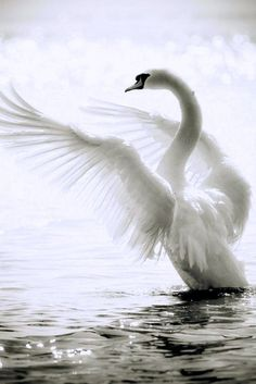 See a rich collection of Animals/Wildlife images, photos or vectors for any project. Explore quality Animals/Wildlife pictures, illustrations from top photographers. Pretty Birds, Beautiful Birds, Animals Beautiful, Beautiful Swan, Beautiful Poetry, Beautiful Scenery, Types Of Wings, Animal Pictures, Cool Pictures