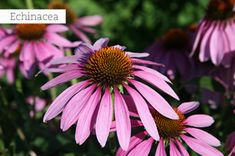 A well known medicinal herb, the beautiful Echinacea also attracts butterflies and beneficial insects, and it can be used as a drought-tolerant pioneer species! Herbaceous Perennials, Flowers Perennials, Planting Flowers, Flowers Garden, Marijuana Plants, Cannabis, Garden Plants, House Plants, Flowering Plants