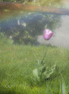 tulip - Tulip in the rain storm