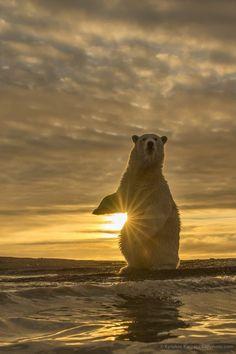 coucher de soleil au creu d'un magnifique ours polaire