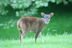 Muntjac... Perfect for a sandwich.
